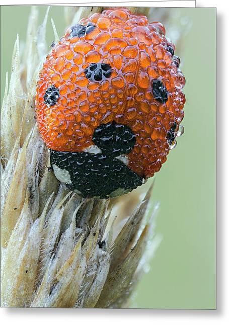 Seven Spot Ladybird Greeting Card by Heath Mcdonald