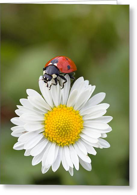 Seven-spotted Ladybird On Common Daisy Greeting Card