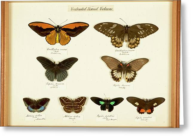 Sexual Dimorphism In Butterflies Greeting Card by Natural History Museum, London