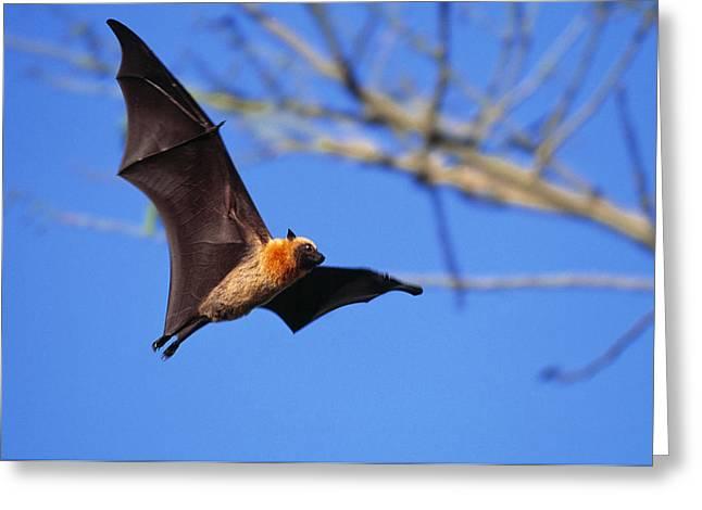 Seychelles Flying Fox Greeting Card