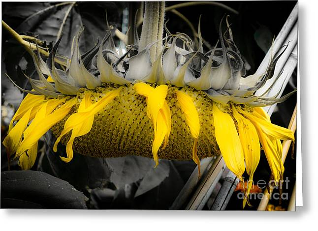 Shaded Sunflower Greeting Card by Amy Fearn