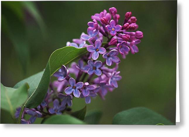 Shades Of Lilac  Greeting Card by Rona Black
