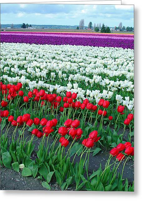 Shades Of Tulips Greeting Card
