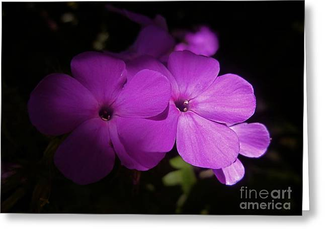 Shadow Phlox Greeting Card