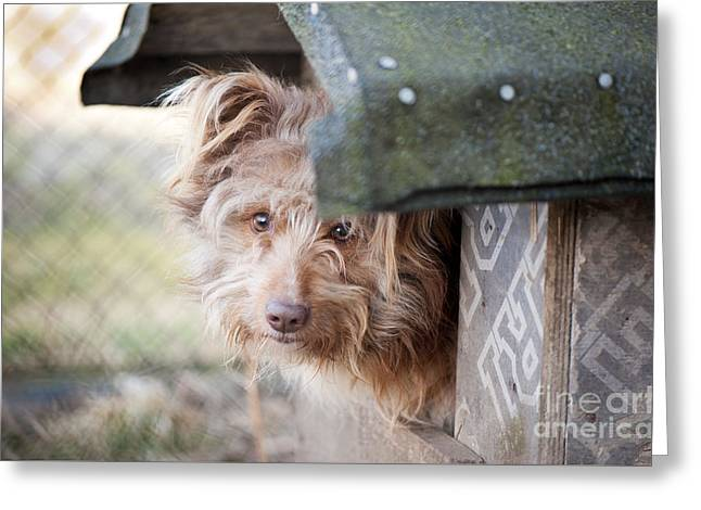 Shaggy Dog Head Jut Out Of Kennel  Greeting Card by Arletta Cwalina