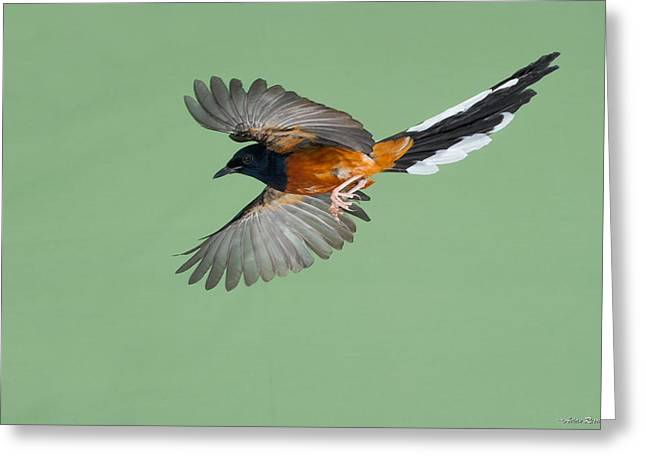 Shama Thrush In Flight Greeting Card