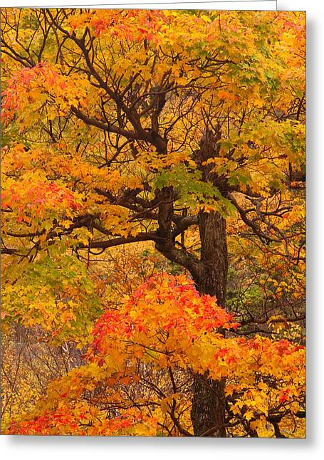 Shapely Maple Tree Greeting Card