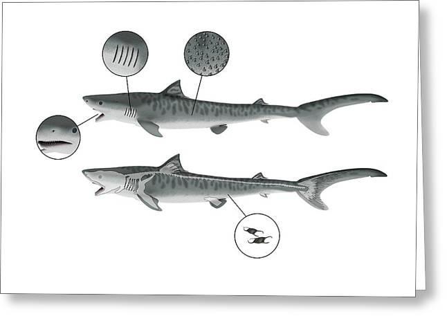 Shark Anatomy Greeting Card by Mikkel Juul Jensen