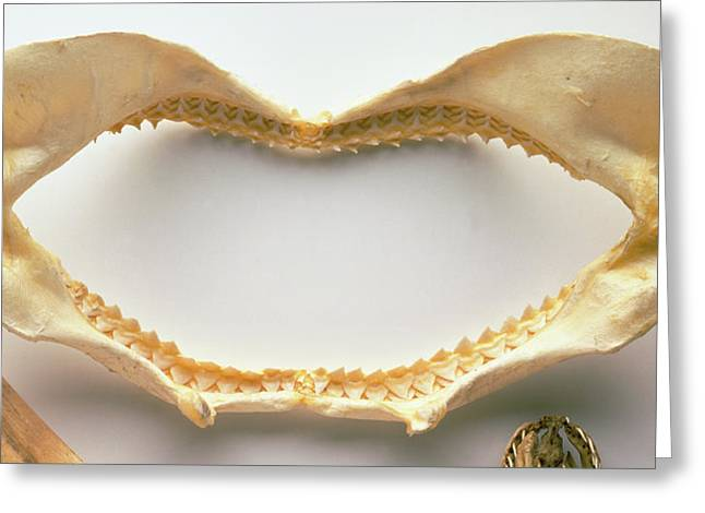 Shark's Upper And Lower Jaws Greeting Card