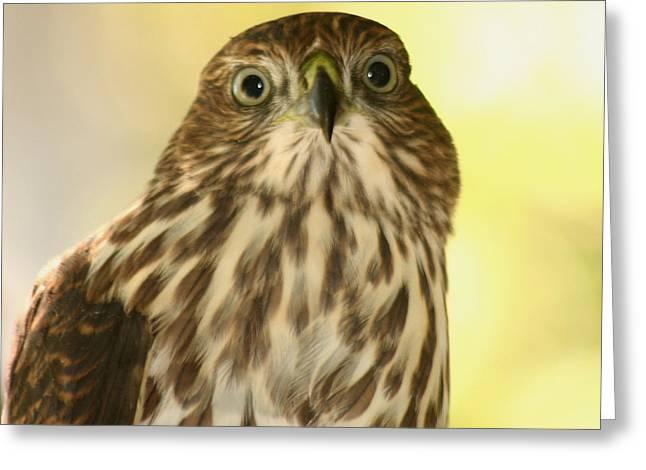 Sharp-shinned Hawk Greeting Card by Bob and Jan Shriner
