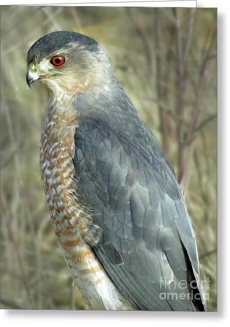 Sharp-shinned Hawk Greeting Card by Darleen Stry