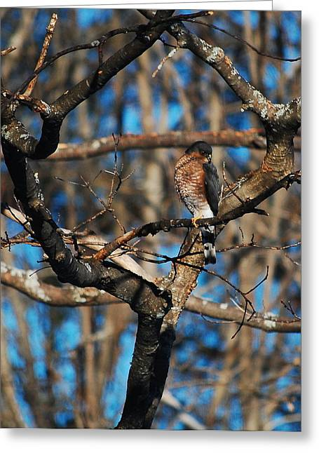 Greeting Card featuring the photograph Sharp Shinned Hawk by Mim White