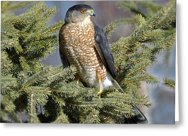 Sharp Shinned Hawk Greeting Card by Rodney Campbell