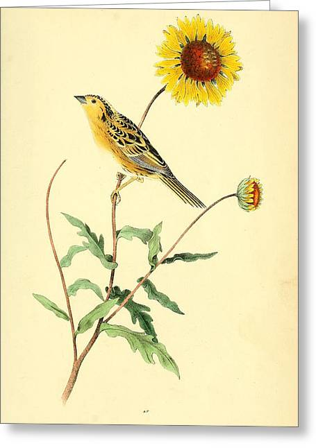 Sharp-tailed Bunting Greeting Card by Philip Ralley