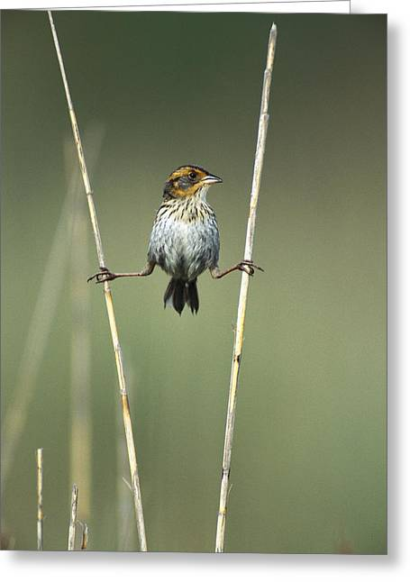 Sharp-tailed Sparrow On Reeds Long Greeting Card by Tom Vezo