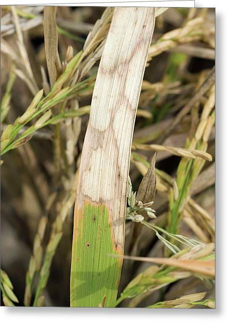 Sheath Blight Disease In Rice Greeting Card by Peggy Greb/us Department Of Agriculture