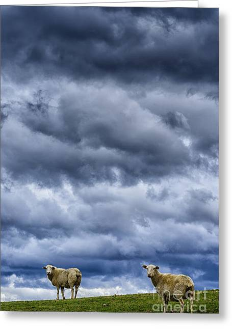 Sheep A Leaden Sky Greeting Card