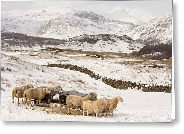 Sheep Brave The Extreme Weather Greeting Card by Ashley Cooper