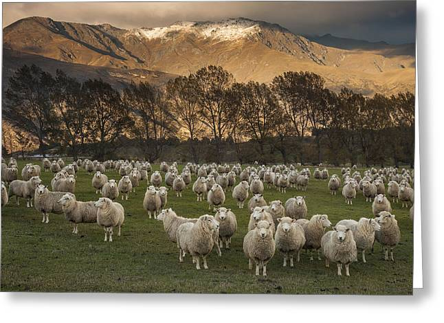 Sheep Flock At Dawn Arrowtown Otago New Greeting Card by Colin Monteath, Hedgehog House
