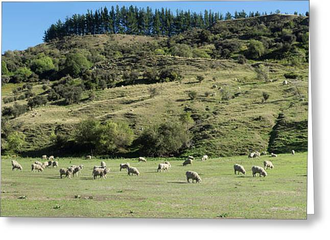 Sheep Grazing In Pasture Along Cardona Greeting Card by Panoramic Images