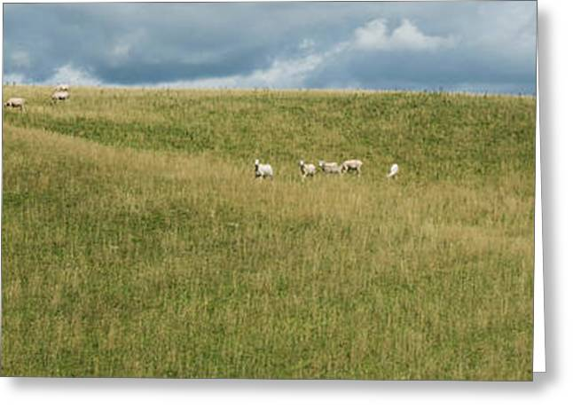 Sheep Grazing On Hillside, Taihape Greeting Card by Panoramic Images