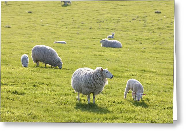 Sheep In A Field In The Typical English Greeting Card