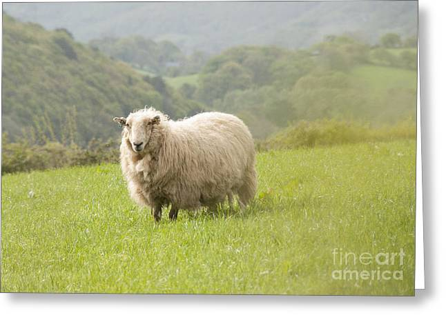 Sheep In Pasture Greeting Card by Juli Scalzi