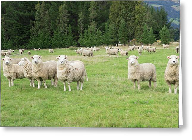 Sheep In Pasture, Paradise Valley Greeting Card by Panoramic Images