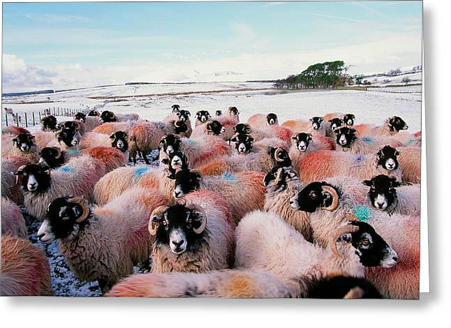 Sheep In Snow In The Lake District Uk Greeting Card