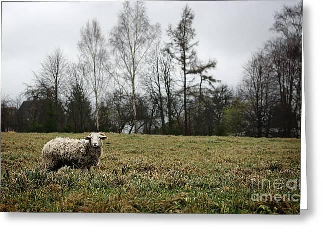 Sheep In Village Field Greeting Card by Jolanta Meskauskiene