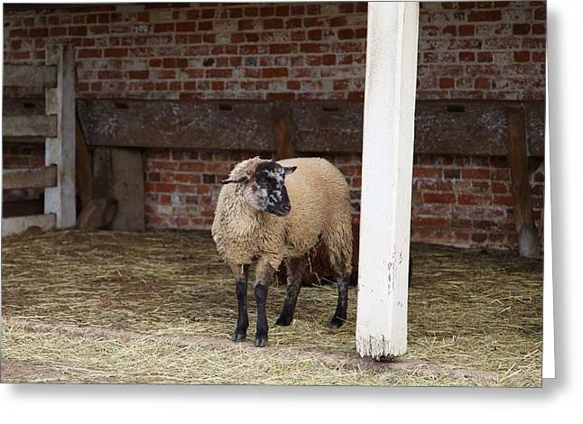 Sheep - Mt Vernon - 01132 Greeting Card by DC Photographer