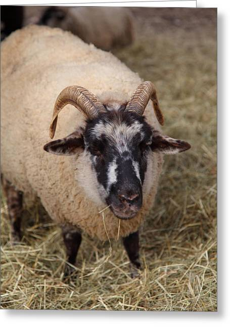 Sheep - Mt Vernon - 01133 Greeting Card by DC Photographer