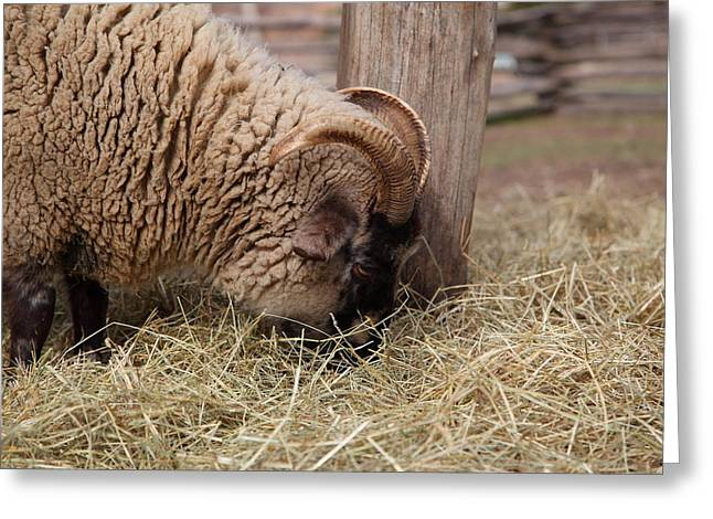 Sheep - Mt Vernon - 01135 Greeting Card by DC Photographer