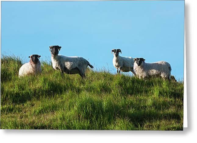 Sheep On Dingle Peninsula  County Greeting Card