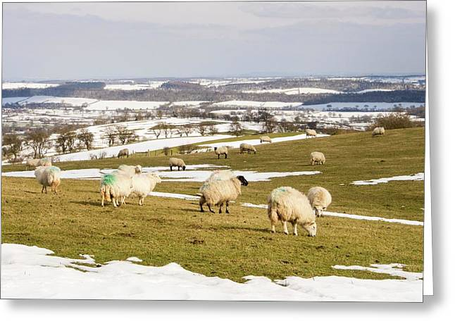 Sheep On Hope Bowdler Hill Greeting Card