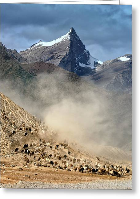 Sheep Trail Greeting Card
