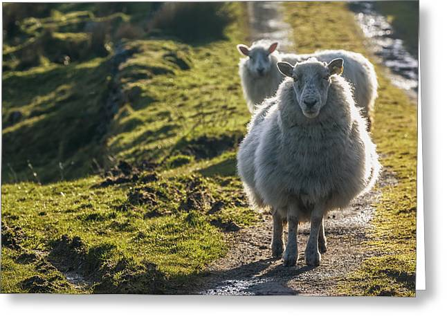 Sheep Walking On Path Ballinskelligs Greeting Card by James Sparshatt