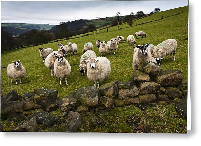 Sheep Will Eat Your Lunch Greeting Card