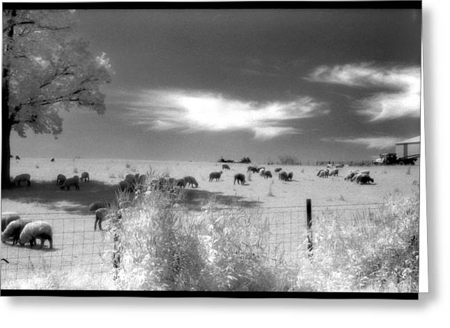 Sheep's In The Meadow Greeting Card by Greg Kopriva