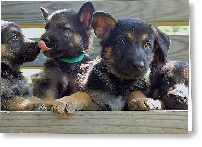 Shepherd Pups 5 Greeting Card