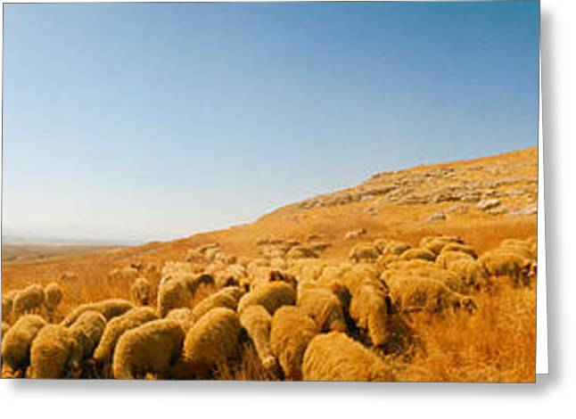 Shepherd Standing With Flock Of Sheep Greeting Card by Panoramic Images