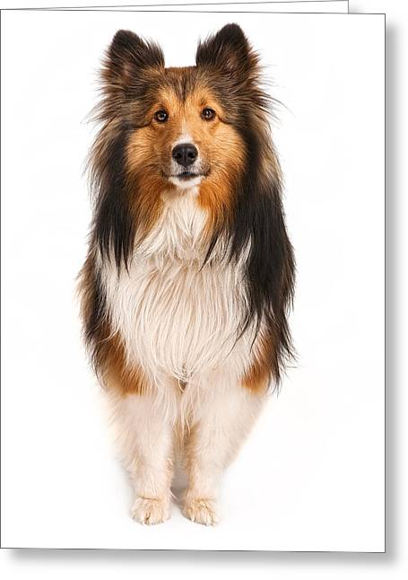 Shetland Sheepdog Looking At Camera Greeting Card
