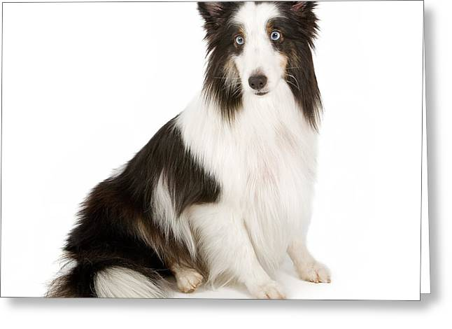Shetland Sheepdog With Blue Eyes Stock Photo  Greeting Card by Susan Schmitz