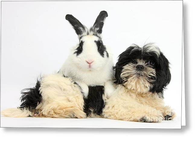 Shih-tzu Pup And Rabbit Greeting Card by Mark Taylor