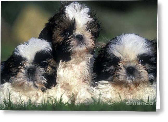 Shih Tzu Puppy Dogs Greeting Card by Jean-Michel Labat