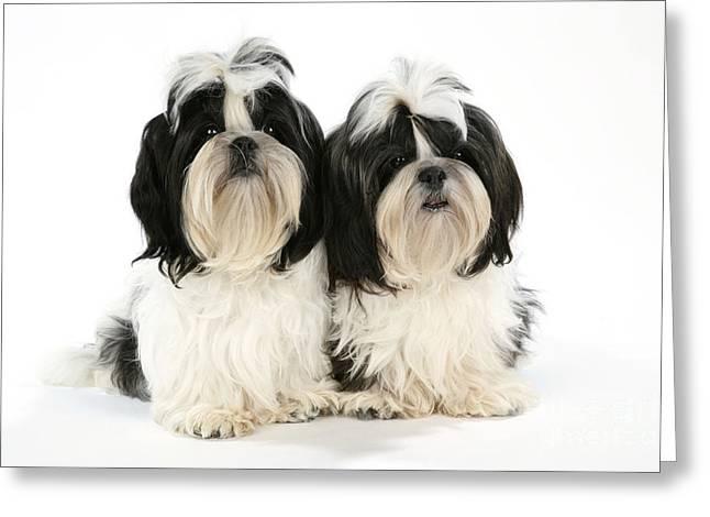 Shih-tzu Puppy Dogs Greeting Card