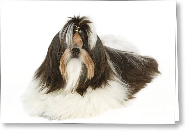 Shih-tzu With Bow Greeting Card