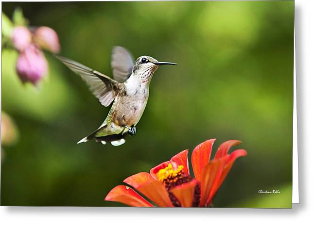 Shimmering Breeze Hummingbird Greeting Card by Christina Rollo
