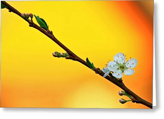 Shining Sakura Greeting Card by Suradej Chuephanich