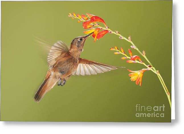 Shining Sunbeam Hummingbird Greeting Card by Dan Suzio